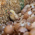 Realidades de la industria del huevo